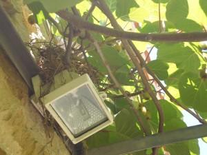 Merles nid